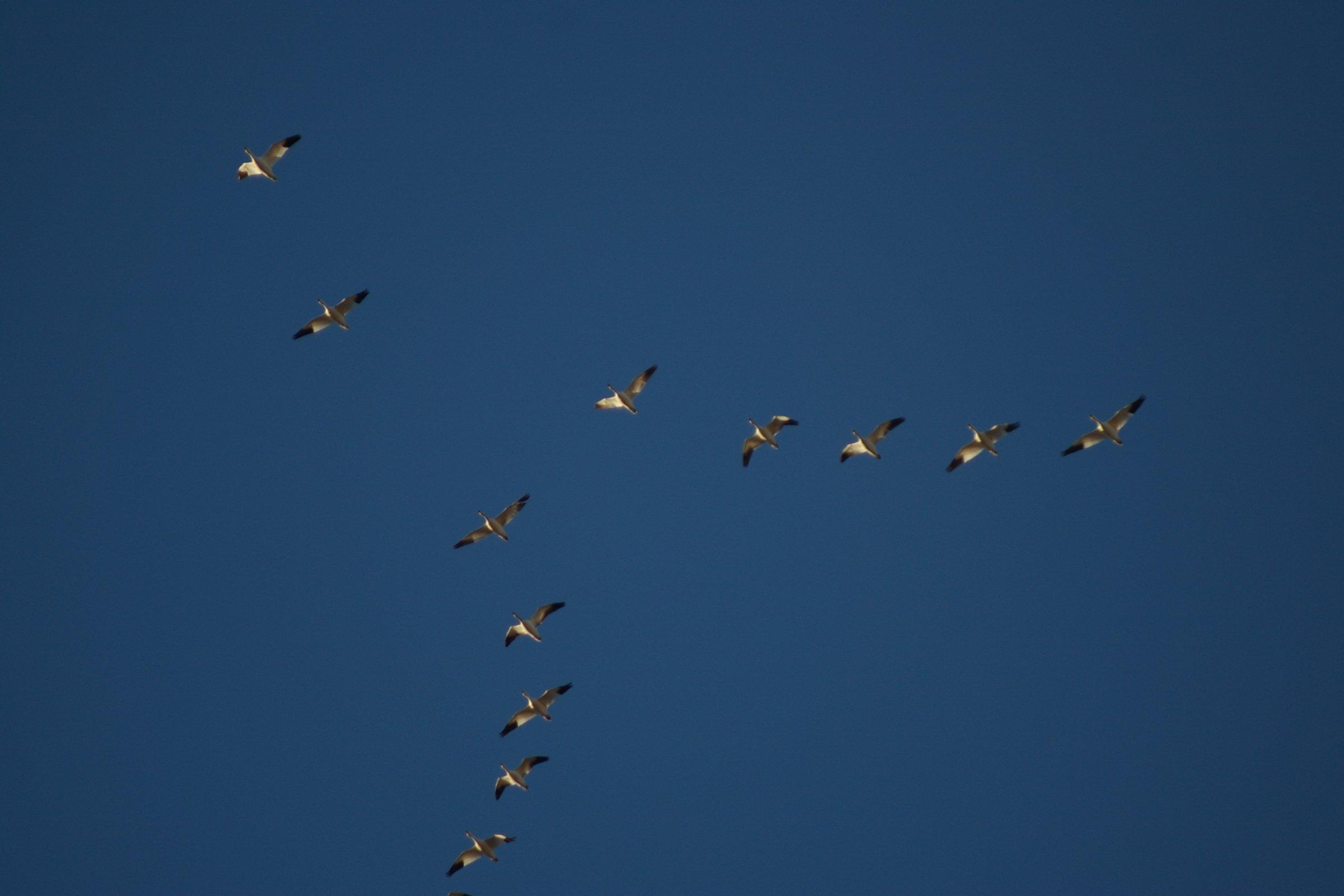 Vol d'oiseaux en formation