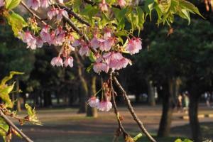 nature printemps cerisier fleurs